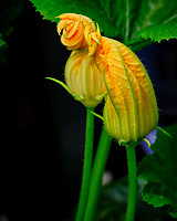 AeroGarden Farm 05-Right. Male Zucchini Flowers. Image taken with a Fuji X-T3 camera and 80 mm f/2.8 macro lens (ISO 160, 80 mm, f/8, 1/60 sec).