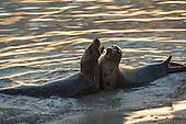 Orkney Grey Seals