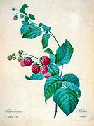 19th-century hand painted Engraving illustration of a Raspberry (Rubus idaeus) bush by Pierre-Joseph Redoute. Published in Choix Des Plus Belles Fleurs, Paris (1827). by Redouté, Pierre Joseph, 1759-1840.; Chapuis, Jean Baptiste.; Ernest Panckoucke.; Langois, Dr.; Bessin, R.; Victor, fl. ca. 1820-1850.