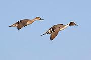 Pair of Northern Pintail Ducks landing.(Anas acuta).Bolsa Chica Wetlands,California
