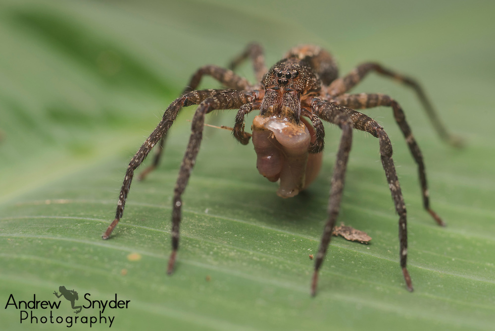 A small spider (Ctenidae) feeds on a worm - Kanuku Mountains, Guyana