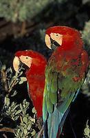 Guacamayas en zoologico, Ara chloroptera, Florida, USA