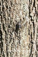 06340-00309 Gray Petaltail (Tachopteryx thoreyi) in fen Washington Co. MO