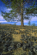 Pine tree and sand dunes, Pribaikalski National Park, Olkhon Island, Lake Baikal. Olkhon Islands is the largest island in the lake. Lake Baikal is the oldest (25 million years), deepest (5700 feet) and largest lake in the world by volume(it holds 20% of the earth's liquid fresh water). Threatened by pollution and most recently by an oil pipeline, Baikal has become a rallying point for Russian and international conservationists. Baikal was declared a World Heritage Site in 1996. Boyd Norton, the photographer here, worked with Russian and U.S. environmentalists to get Baikal designated a World Heritage Site.