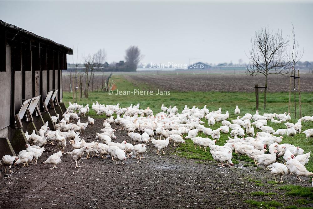 """Nederland, Tuitjenhorn, 9 april 2016.<br /> Diervriendelijke  kip niet duurzaam.<br /> In Tuitjenhorn zit de biologische pluimveehouderij van Marcel Groot. Aan de rand van het dorp heeft hij twee ouderwetse stallen met elk 5000 kippen. Binnen lopen de kippen op stro. Hoewel de stal aardig vol zit, ziet het er 'natuurlijk' uit.<br /> In plaats van zes weken, zoals bij de plofkip het geval is, leven de bio-kippen van Groot gemiddeld tien weken. Ook zitten er tien kippen op één vierkante meter, in plaats van twintig. En in de lente en de zomer hebben ze uitloop naar buiten. Niet voor niets heeft zijn kip het drie-sterren ''Beter-Leven-keurmerk' van de Dierenbescherming. ,,Qua dierenwelzijn doe je met deze kip een grote stap vooruit,"""" zegt Groot. ,,Maar qua milieu doe je een stap terug.""""<br /> Zijn kippen leven namelijk langer, hebben meer voer nodig, verbruiken meer energie, en zijn daardoor slechter voor het milieu. Daarnaast, legt Groot uit, werkt hij nog met verouderde apparatuur uit de jaren '70. ,,Ik heb het geld niet om te investeren in nieuwe en duurzame techniek. Daarvoor zijn de opbrengsten te laag.""""<br /> Op dit moment beslaat de biologische kip ongeveer 1 procent van de totale markt, en zijn er maar twee biologische slachterijen in Nederland. Groot ziet het wat dat betreft somber in. ,,Ik denk niet dat het mogelijk is om de biologische sector zo in te richten dat we kunnen concurreren met de reguliere pluimveehouderij.""""<br /> Biologische kip is dan ook bijna vier keer duurder (tussen de 20 en 25 euro per kilo) dan plofkip (6 euro per kilo) of de Beter Leven kip met één ster (ongeveer 8 euro per kilo). Wel, zegt Groot, is de smaak en de kwaliteit van zijn vlees veel beter. ,,Het smaakt een beetje zoals vroeger. Hoe beter het leven van de kip, hoe beter de kwaliteit van het vlees.""""<br /> Foto: Jean-Pierre Jans<br /> <br /> Netherlands, Tuitjenhorn, April 9, 2016.<br /> Animal friendly chicken unsustainable.<br /> <br /> In Tuitjenhorn there is the organic poul"""