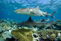 A pair of Whitetip Reef Sharks, Triaenodon obesus, patrol over a shallow reef. Shark Reef, Beqa Lagoon, Viti Levu, Fiji, Pacific Ocean