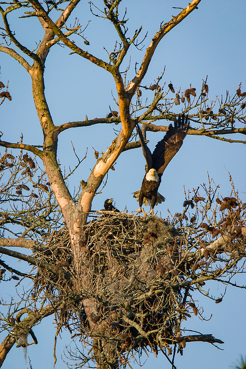 A bald eagle flies from her nest and brood in a dead pine along the May River near Bluffton, S.C.
