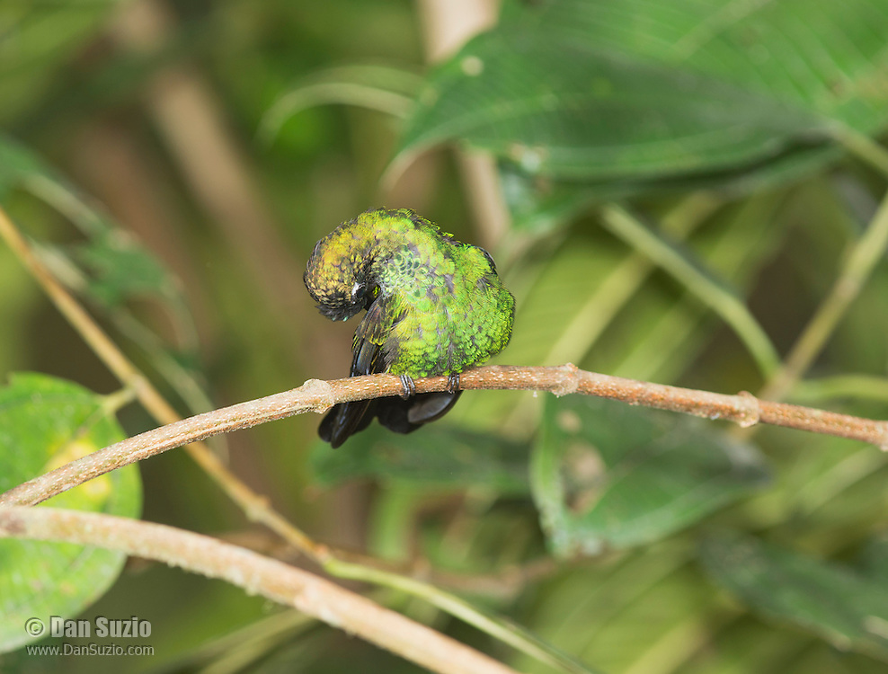 Male green-crowned brilliant hummingbird, Heliodoxa jacula, preening its feathers. San Jorge Eco-Lodge, Milpe, Ecuador