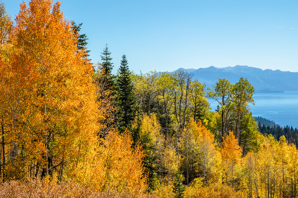 """""""Aspens Above Lake Tahoe 16"""" - Photograph of yellow and orange aspen trees in the Fall at a grove above Lake Tahoe."""