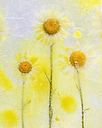"""Iced flowers - wildflowers frozen in ice complete with bubbles and imperfections. 11"""" x 14""""<br /> See Pricing page for details. <br /> <br /> Please contact me for custom sizes and print options including canvas wraps, metal prints, assorted paper options, etc. <br /> <br /> I enjoy working with buyers to help them with all their home and commercial wall art needs."""