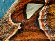 Close up of an Emperor Moths wing showing its natural textures and patterns.