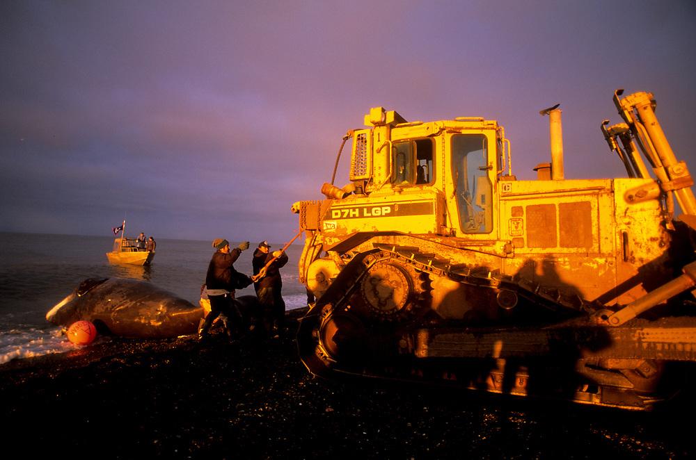 Alaska. Barrow. Loader pulling Henry Kignak's crew whale from the ocean.