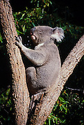 Koala bear in a tree (captive) <br />
