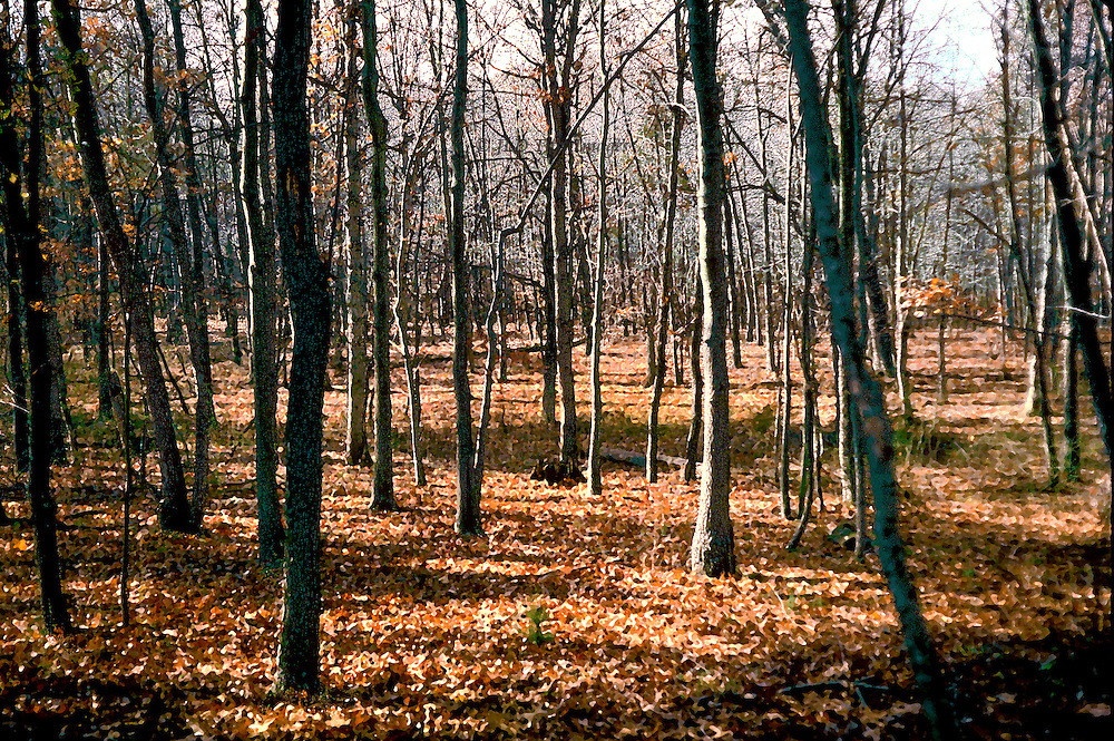 Scene in a wood of slim second growth trees, bare trunks, surrounded by a carpet of dead leaves in brown, orange and gold colors.  Painterly effect added in post processing.