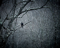 Turkey Vulture. Image taken with a Nikon D5 camera and 600 mm f/4 VR telephoto lens.