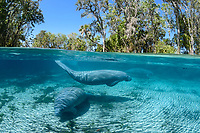 Split- level image showing three manatees enjoying the freshwater springs. This is a recent image from March 2018. Florida manatee, Trichechus manatus latirostris, a subspecies of the West Indian manatee, endangered. Three Sisters Springs, Crystal River National Wildlife Refuge, Kings Bay, Crystal River, Citrus County, Florida USA. IUCN Red List: Endangered. USFWS implemented downlisting to Threatened 2017: http://www.iucnredlist.org/details/22106/0. Taken under USFWS SUP Permit