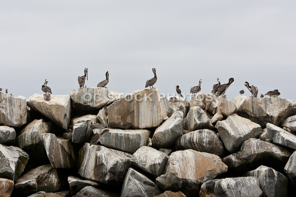 Pelicans Sitting On The Dana Point Harbor Breakfront