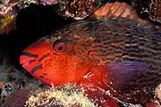 female swarthy parrotfish, Scarus niger, asleep in reef at night, Helengeli, Maldives ( Indian Ocean )