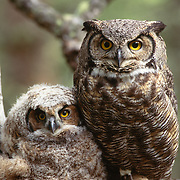 Great horned owl (Bubo virginianus) adult and chick in nest during springtime in Montana.