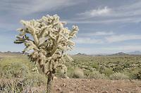 Jumping Cholla (Cylindropuntia fulgida), Sonoran Desert Arizona