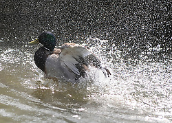 ©London News pictures. 06/04/2011. A duck cools off in the River Cherwell at the Oxford Botanical Gardens, today (Wed). Forecasters predict high temperatures of 22 degrees Celsius. Picture credit should read Stephen Simpson/LNP