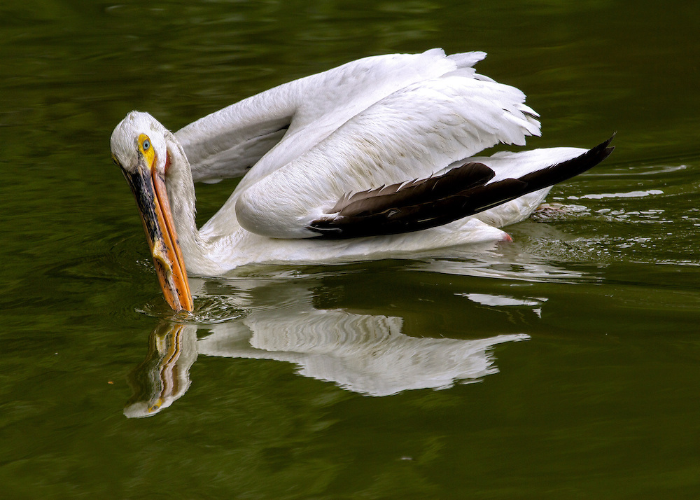 A cool yet wavy reflection of a American White Pelican swimming on a pond at the Saint Louis Zoo.