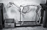 Skeleton at Tulane Univeristy's Natural History Museum