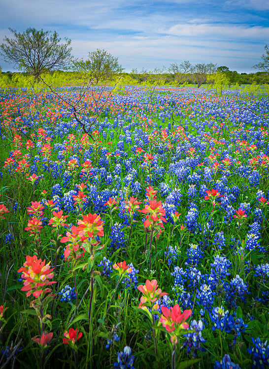 Texas paintbrush and bluebonnets in Ennis, Texas. Lupinus texensis, the Texas bluebonnet, is a species of lupine endemic to Texas. With other related species of lupines also called bluebonnets, it is the state flower of Texas. It is a biennial plant which begins its life as a small, gravel-like seed. The seed has a hard seed coat that must be penetrated by wind, rain, and weather over the course of a few months (but sometimes several years). In the fall, the bluebonnets emerge as small seedings with two cotyledons, and later a rosette of leaves that are palmately compound with 5-7 leaflets 3-10 cm long, green with a faint white edge and hair. Growth continues over the mild winter months and then in the spring will take off and rapidly grow larger, before sending up a 20-50 cm tall plume of blue flowers (with bits of white and occasionally a tinge of pinkish-red). The scent of these blossoms has been diversely described; many people say they give off no scent at all, while a few have described the scent as 'sickly sweet'. It has been found in the wild with isolated mutations in other colors, most notably all-white flowers, pink, and maroon. These mutations have since been selectively bred to produce different color strains that are available commercially.