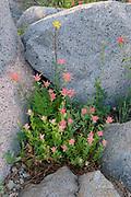 Paintbrush and Wallflower within Granite,Mokelumne Wilderness, Eldorado National Forest, California
