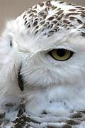 Avifauna, Europa's grootse vogelpark. / Avifauna - the largest bird sanctuary in Europe Op de foto / On the photo : Sneeuwuil (Nyctea scandiaca) / Snowy Owl