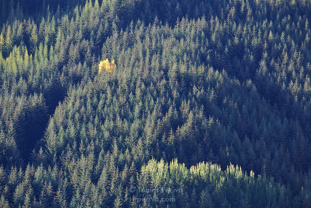 Lone yellow tree on an otherwise green hillside near the township of Arrowtown, in the South Island of New Zealand.