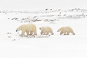 Polar bear (Ursus maritimus) sow and two cubs walking on the frozen tundra along the Hudson Bay coastline<br />Churchill<br />Manitoba<br />Canada