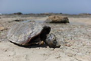 Mass Animal Die-Off concept. A carcase of a Sea Turtle on a beach