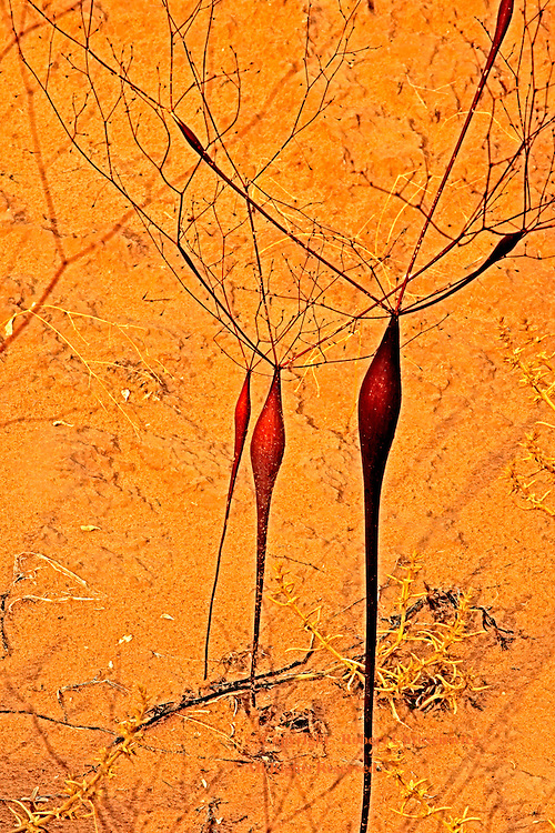 Desert Adaptation: A small grouping of a most unusual plant, which looks as if it were, transplanted from another world, found in the arid Third Valley of Goblin State Park - Utah USA.