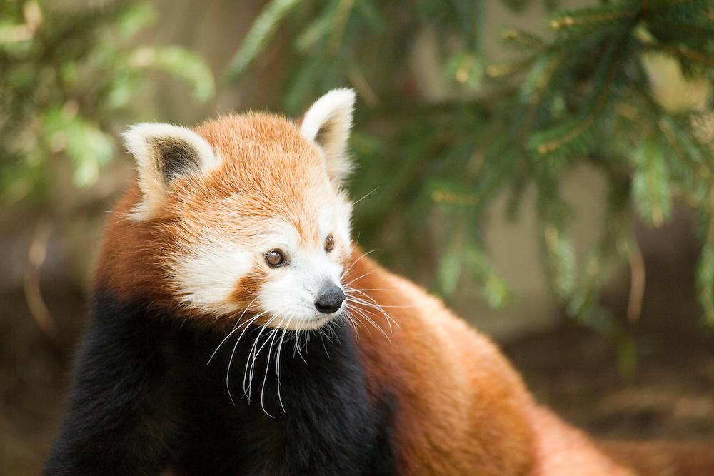 United States, Washington D.C. (District of Columbia), National Zoo, Red Panda (Ailurus fulgens)
