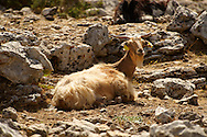 Mountain goats on Mount Ainos, Kefalonia, Ionian Islands, Greece. .<br /> <br /> Visit our GREEK HISTORIC PLACES PHOTO COLLECTIONS for more photos to download or buy as wall art prints https://funkystock.photoshelter.com/gallery-collection/Pictures-Images-of-Greece-Photos-of-Greek-Historic-Landmark-Sites/C0000w6e8OkknEb8