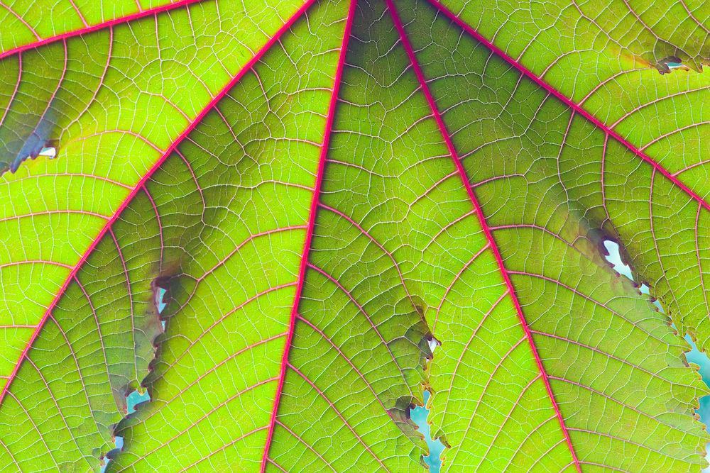 Close up plant leaf with red veins.