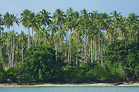 Coconut Palms grown for copra line the coast of Halmahera Island, Indonesia.