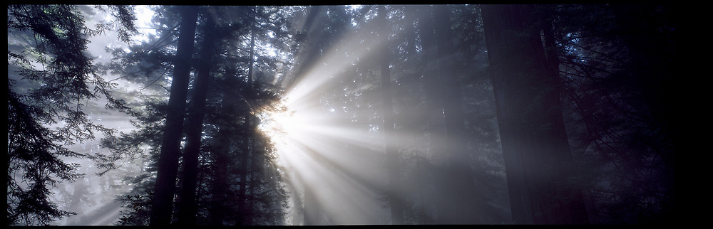 Sun Rays and Fog, Redwood National Forest, California, USA, 1993