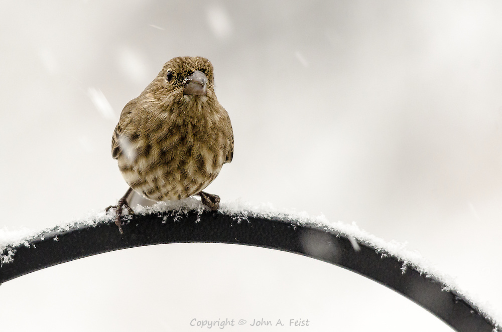 She looks like she's ready to fly right at me.  There's snow swirling all around her, but she doesn't seem to care.