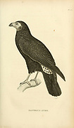 black caracara (Daptrius ater) is a species of bird of prey in the Falconidae family found in Amazonian and French Guiana lowlands from volume XIII (Aves) Part 2, of 'General Zoology or Systematic Natural History' by British naturalist George Shaw (1751-1813). Griffith, Mrs., engraver. Heath, Charles, 1785-1848, engraver. Stephens, James Francis, 1792-1853 Published in London in 1825 by G. Kearsley