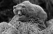 A Bear cub is laying on on a rocky cliffside in the Wildlife Park of Cabárceno in Spain.