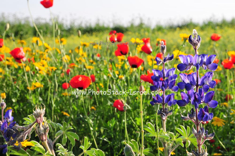 Israeli wildflowers - Red Corn Poppy (Papaver subpiriforme), Blue Lupine (Lupinus pilosus) and Crown Daisy (Chrysanthemum coronarium)