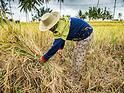 20 JULY 2016 - TAMPAKSIRING, GIANYAR, BALI:  A woman cuts rice during the harvest in Tampaksiring, Bali. Rice is an important part of the Balinese culture. The rituals of the cycle of planting, maintaining, irrigating, and harvesting rice enrich the cultural life of Bali beyond a single staple can ever hope to do. Despite the importance of rice, Bali does not produce enough rice for its own needs and imports rice from nearby countries. Because of its dependable growing weather and number of micro-climates, rice cultivation is a year round activity in Bali. Some farmers can be harvesting rice, while farmers just a few kilometers away can be planting rice. Most rice in Bali is still harvested by hand.     PHOTO BY JACK KURTZ