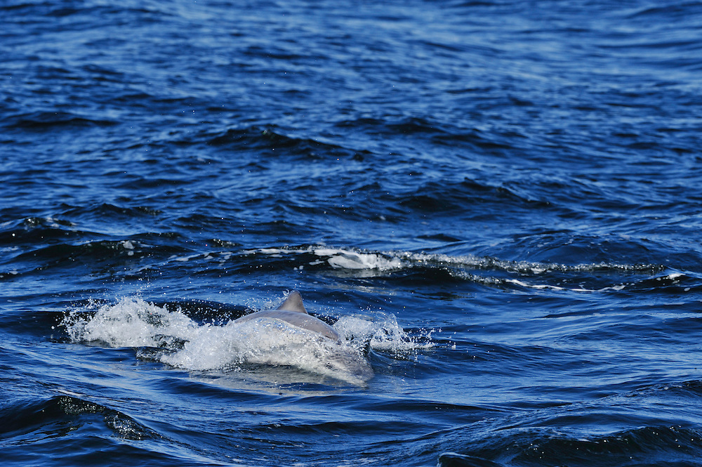 Bottle-nosed Dolphin calf travelling at speed whilst playing,<br /> Tursiops truncatus,<br /> Moray Firth, Nr Inverness, Scotland - May
