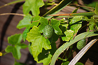 Looking much like a miniature watermelon, the creeping cucumber is in fact a native cucumber that grows in the American Southeast as far north as Illinois and Pennsylvania and west to Texas and Kansas on long vines with grape-like leaves. While considered edible, it's just one of those things you wouldn't go out of your way to eat. These were found in the Big Cypress National Preserve in Southwest Florida.