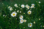 A073YW Daisies in a summer meadow close up Suffolk England