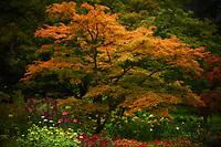 A Japanese Maple changing into  Autumn golden splendor.