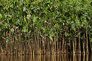Water Philodendron<br /> (Philodendron sp.)<br /> Rewa River<br /> Rainforest<br /> GUYANA. South America