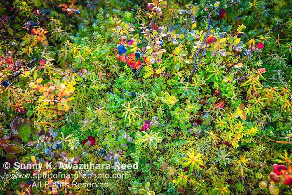 Close up of tundra vegetation including Bog Blueberries, Denali National Park & Preserve, Interior Alaska, Autumn.